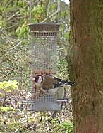 Goldfinch feeding on the sunny afternoon of 15 April 2001.